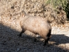 Arizona Collared Peccary