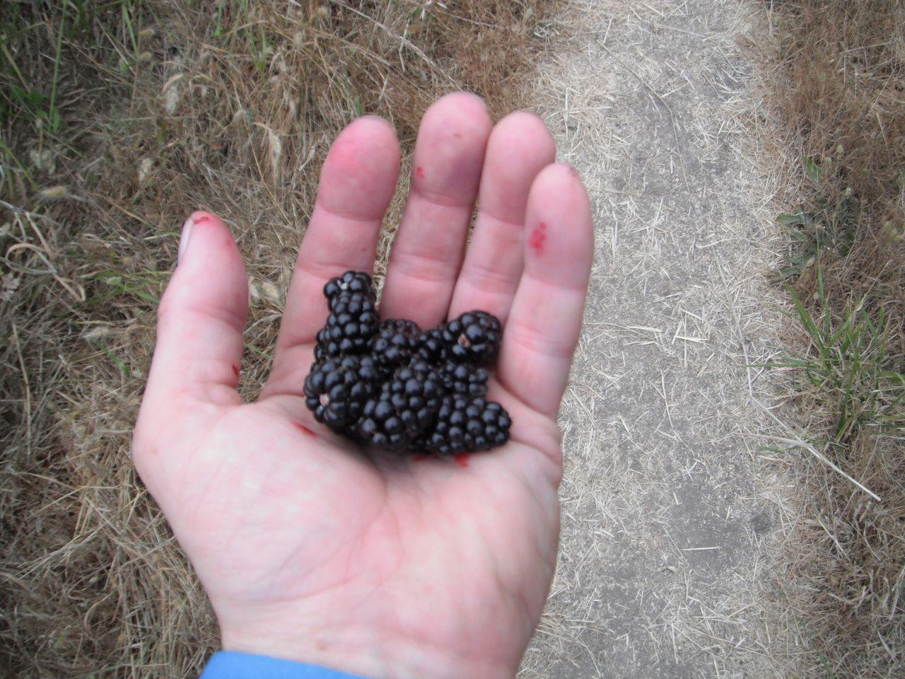 Black Berries At Point Reyes