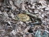 Yellow Phase Timber Rattlesnake