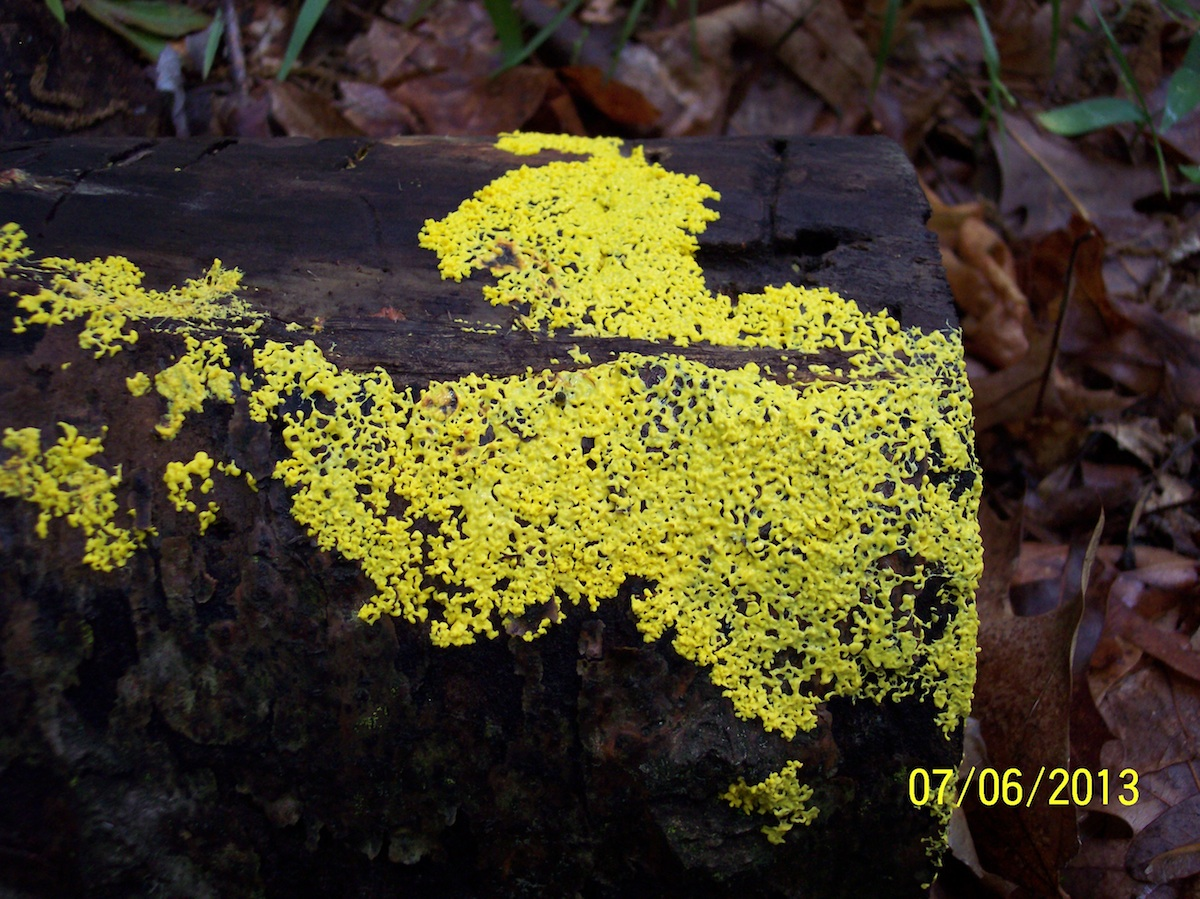 Mohican 1 - Yellow Lichen
