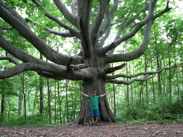 Massive Old Growth Beech In N. Maryland