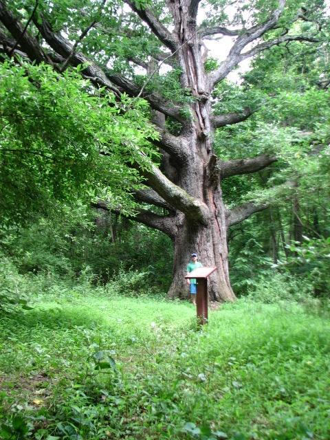 Giant White Oak In N. Maryland