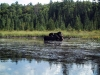 Algonquin Moose by dant8ro in Group Campouts