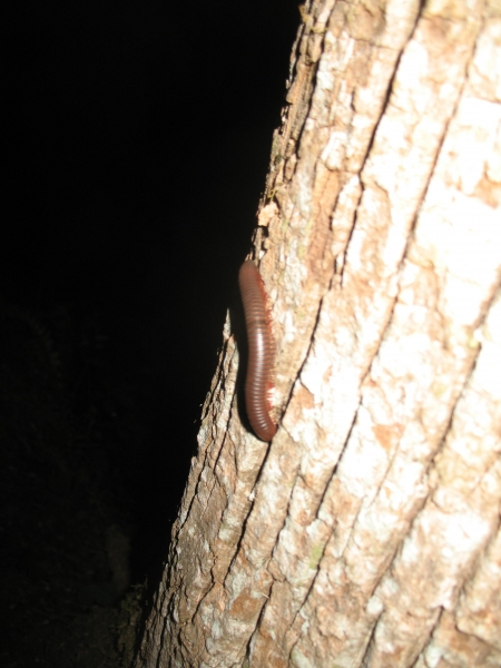Centiped on Tree Pic2