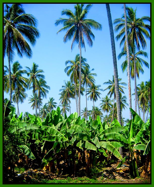 Coco & Banana Plantation
