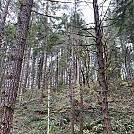Impaled tree